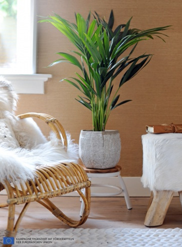 Zimmerpflanze: Kentia-Palme