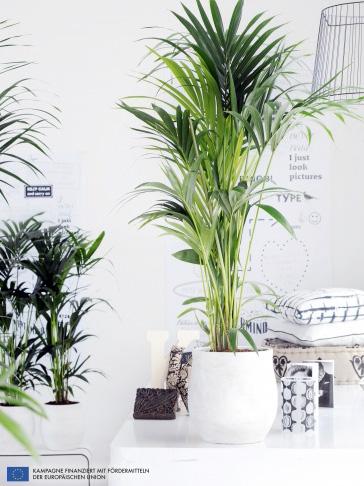 Zimmerpflanze des Monats: Kentia-Palme